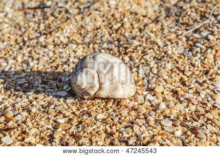 Shell Rapana Venosa