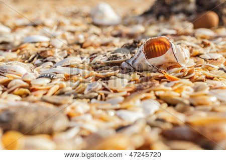 Old Shell Rapana