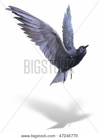 Common Tern Sea Bird In Flight Isolated Over White With Shadow