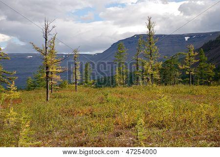 Rare Larch In The Tundra.
