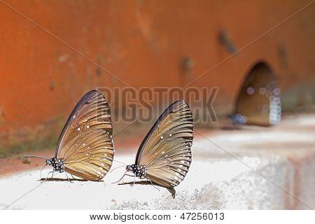 Long Branded Blue Crow Butterflies