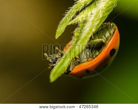 Hanging Ladybug