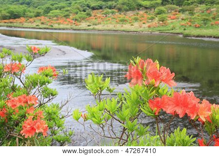 Japanese Azalea Whith Marshland