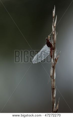 Mayfly, Ephemeroptera, Hanging Steadily On Top Of A Plant On Dark Background