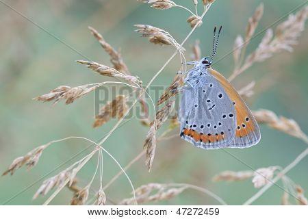 Chrysophanus Dispar Rutilus Butterfly In Nature
