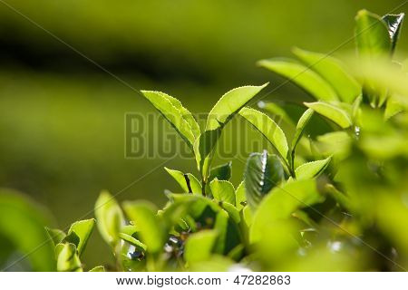 Green Leaves Of Tea In Sri Lanka Closeup