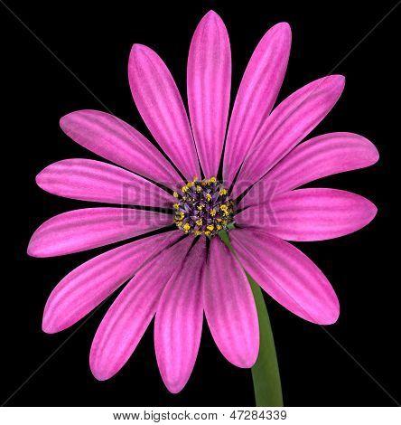Violet Pink Osteosperumum Flower Isolated On Black