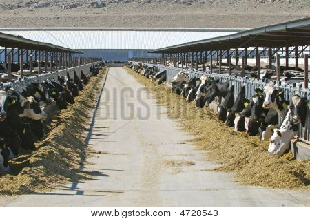 Large Dairy Farm