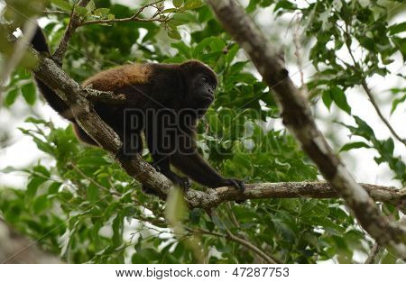 Spider Monkey In Its Natural Habitat In The Jungle In Central America