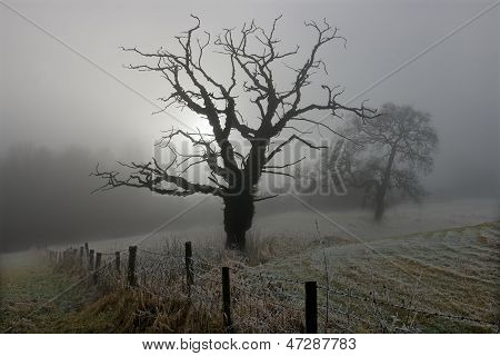Winter trees in the Mist