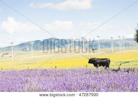 Black bull in field