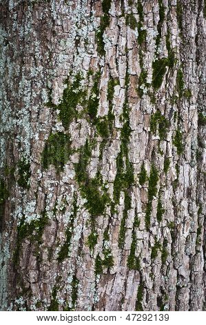 Tree Bark With Moss Closeup