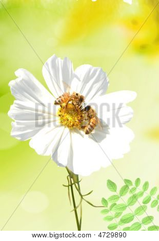 Daisy And A Bee