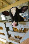 stock photo of dairy barn  - Cute cow in barn - JPG