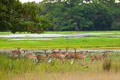 Sika Deer In Jungls Of Sri Lanka