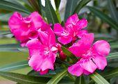 foto of oleander  - Pink Nerium oleandes L - JPG