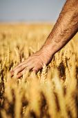 Man's hand holding a spike on the background field