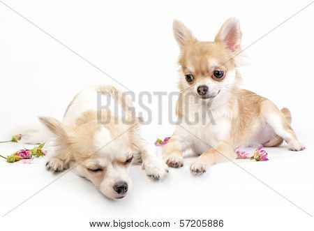 love story (continued),  couple of chihuahua puppies