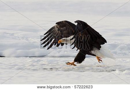 Bald Eagle ( Haliaeetus Leucocephalus ) Walk On The Snow