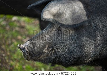 Piercing Pig
