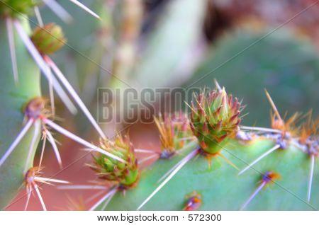 Cactus Desert Flower