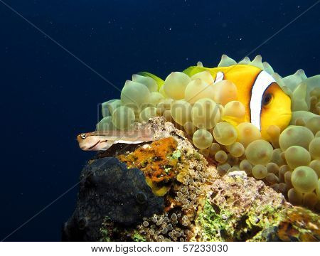 Anemonefish and blenny