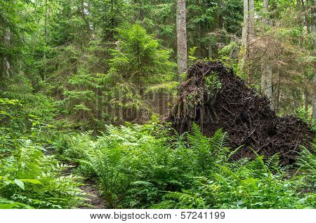 Roots Of Big Tree With Soil After Hurricane