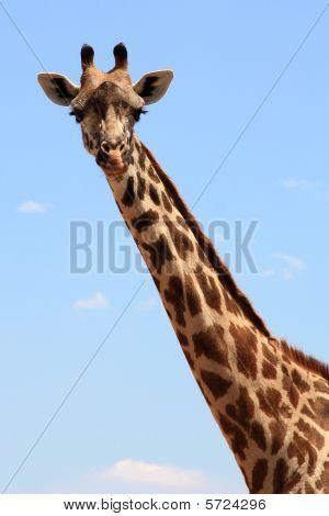 Giraffe head and neck
