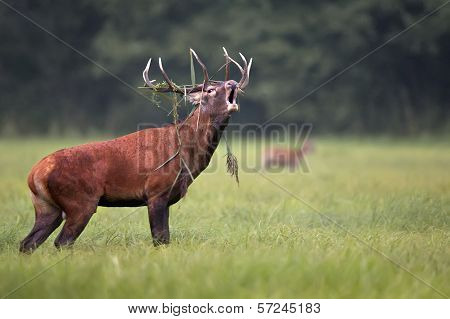 A red deer bellowing in the wild.