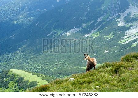 Chamois on the mountain ridge