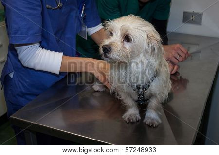 Veterinarian Examining A Cute White Dog