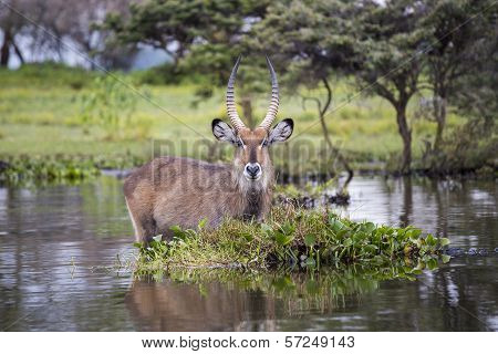Water Buck at the Naivasha Lake in Kenya