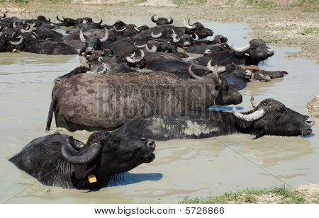 Water Buffalos Wallowing In Mud, Hungary