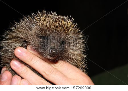 The Young Tame Hedgehog Is In Hand