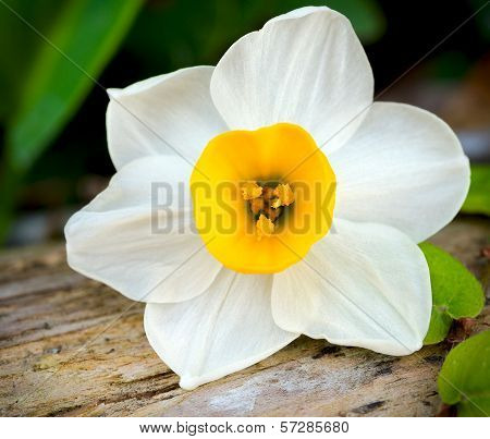 White Daffodil Flower in a Nature Garden
