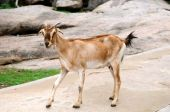stock photo of cashmere goat  - An handsome goat walking down the rocks - JPG