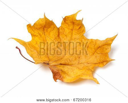 Autumn Yellow Dry Maple Leaf