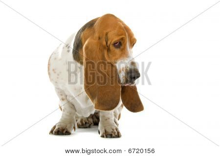 English Basset Hound dog