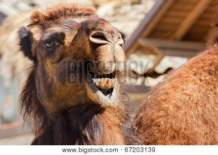 Arabian Camel Or Dromedary (camelus Dromedarius)