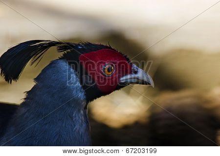 Siamese Fireback Pheasant (lophura Diardi)