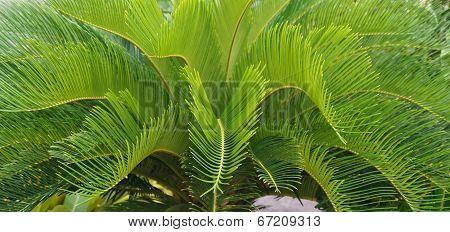 Cycas Circinalis L., Cycadaceae.