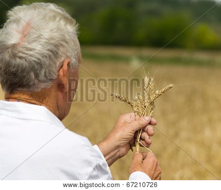 Agronomist Analysing Wheat Ears
