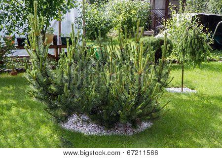Pine In Garden