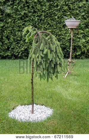 Nice Pine In Garden