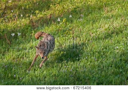 Coyote (Canis Latrans) Runs In Field