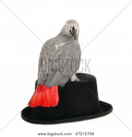 African grey parrot on hat