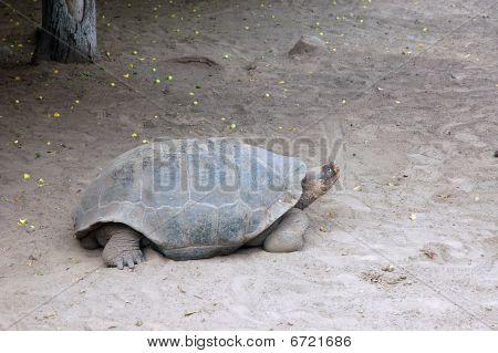 Galapagos Giant Tortoise.