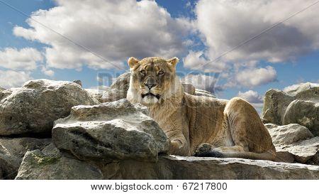 lion resting on a rocky ledge