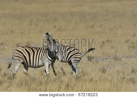 Zebra playing