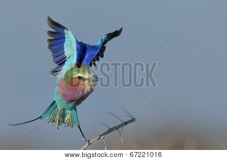 Colourful take off by Lilac breasted roller
